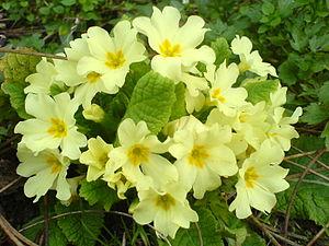 Primula - Primula vulgaris