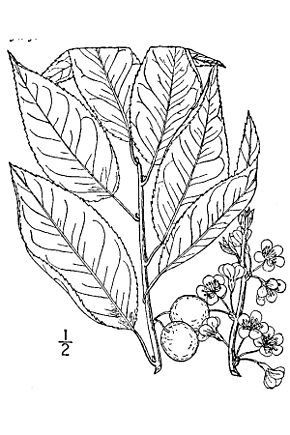 Description de l'image Prunus alleghaniensis.jpg.
