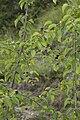 Prunus mahaleb bray-sur-somme 80 25062007 5.jpg