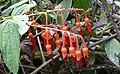 Psammisia cf. Ecuadorensis - Flickr - gailhampshire.jpg