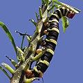 Pseudosphinx tetrio (Caterpillar).jpg