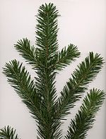 Coast Douglas-fir foliage