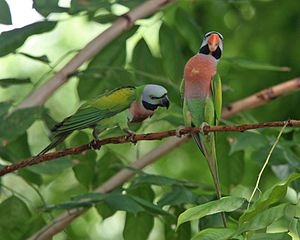 Red-breasted parakeet - Female (left) and male (right)