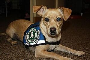 Psychiatric Service Dog In Training