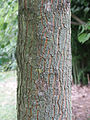 Pterostyrax psylophyllus écorce tronc.JPG