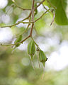 Pterosyrax corymbosus jeunes fruits2.jpg