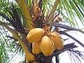 PuLau Lang Tengah, coconut - panoramio.jpg