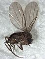 Puliciphora male.jpg