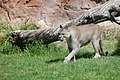 Puma concolor stanleyana - Texas Park - Lanzarote -PC04.jpg