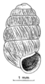 Pupilla loessica shell.png