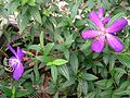 Purple Glory Tree (Tibouchina granulosa) 3.jpg