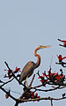 Purple Heron (3327039385).jpg