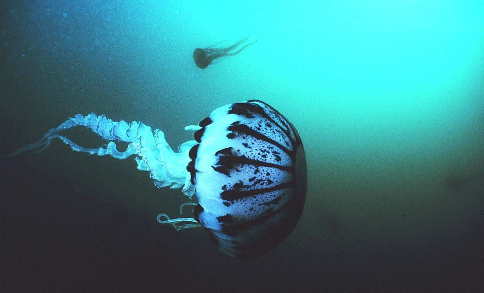 Purple striped jellyfish, Pelagia panopyra, MBNMS