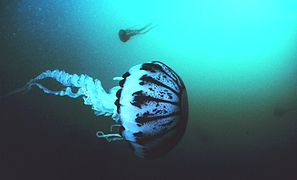 https://upload.wikimedia.org/wikipedia/commons/thumb/a/ad/Purple_striped_jellyfish,_Pelagia_panopyra,_MBNMS.jpg/297px-Purple_striped_jellyfish,_Pelagia_panopyra,_MBNMS.jpg