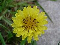 P. pauciflorus
