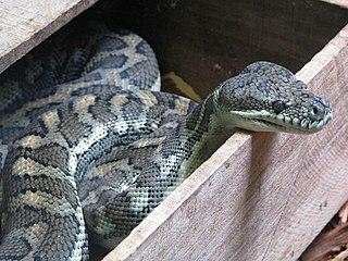 <i>Morelia</i> (snake) genus of reptiles