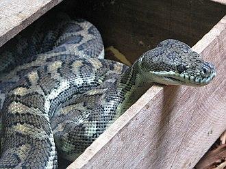Morelia (snake) - Morelia spilota