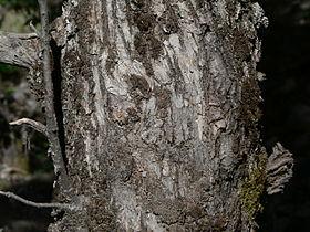 Quercus chrysolepis 08567.JPG