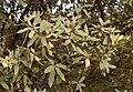 Quercus grisea 00b (homeredwardprice).jpg