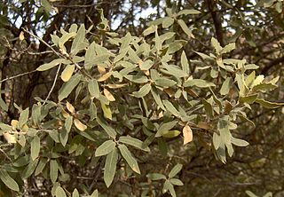 <i>Quercus grisea</i> species of plant
