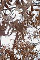 Quercus laevis (24177279976).jpg