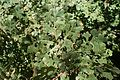 Quercus lobata kz3.jpg