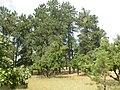 Quercus macrocarpa (5108084814).jpg