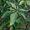 Quercus montana summer twig leaves.jpg