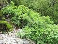 Quercus orocantabrica. Carbayu orocantábricu.jpg