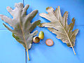 Quercus pyrenaica var.1 2011-9-18 SierraMadrona.jpg