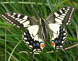 RSPB Strumpshaw Fen Norfolk Swallowtail.jpg