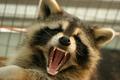 Raccoon (15716569221).png