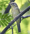 Radde's Warbler - Thailand S4E1407 (18645038584) (2) (cropped).jpg