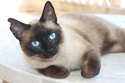 Ragdoll Blue Eyes Cat.JPG