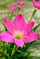 Rain Lily (Sc. name-Zephyranthes minuta).jpg
