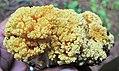 Ramaria largentii 360109 crop.jpg