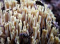 Ramaria stricta , probably (45467087274).jpg