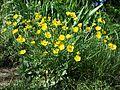 Ranunculus bulbosus sl5.jpg