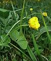 Ranunculus cassubicifolius 040508a.jpg