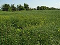 Rape field and hedge - geograph.org.uk - 465210.jpg