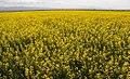 Rapeseed fields in Khusf county - 15 April 2018 19.jpg