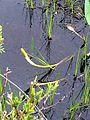 Rare Wetland Plant.jpg