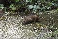 Rattus norvegicus (25854086974).jpg