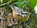 Red-breasted Nuthatch RWD.jpg