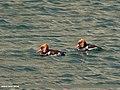 Red-crested Pochard (Netta rufina) (41495873654).jpg
