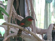 Red-faced Liocichla.jpg