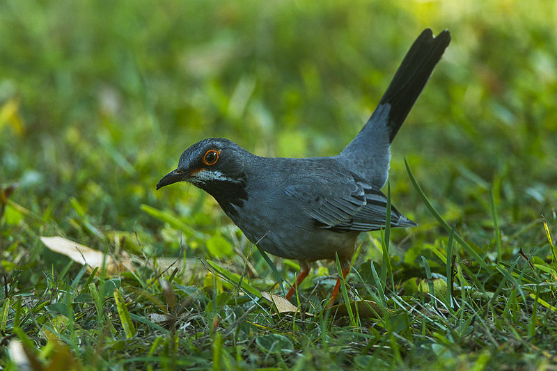 File:Red-legged Thrush - Cuba S4E1105 (17233193282).jpg