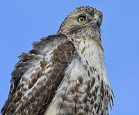 Red-tailed hawk Downsview Park.jpg
