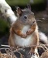 Red Squirrel 1 (4996447516).jpg
