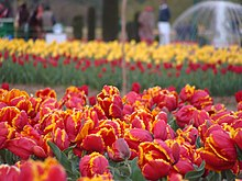 Red and Yellow Tulips.JPG